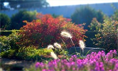 Autumn Sun (farmspeedracer) Tags: nature september fall park garden bush light sunny sunbeam warm warmth reflection red