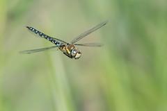 Migrant Hawker (Gareth Keevil) Tags: dragonfly garethkeevil gloucestershire inflight migranthawker minibeast nikon300mmpf nikond810 onthewing slimbridge summer uk