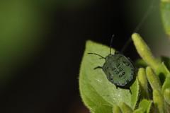 Shieldbug (AngharadW) Tags: honeysuckle gardenbug shieldbug greenbug