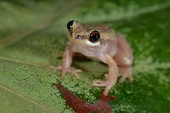 Desert Tree Frog (Litoria rubella) (shaneblackfnq) Tags: desert tree frog litoria rubella shaneblack wonga beach amphibian daintree river mossman fnq far north queensland australia tropics tropical red