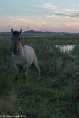 Wild and alone (Adriaan van Oost) Tags: animals biesbosch park national netherlands