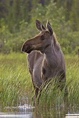 Attractive Moose (alces alces) ....Explored (Colin Pacitti) Tags: moose alcesalces animal herbivore mammal wildanimal outdoor wolflake yukon canada coth fantasticwildlife hennysanimals ngc sunrays5