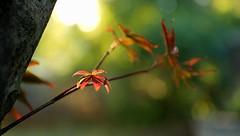 Taste of Autumn (AlisAquilae) Tags: taste autumn fall september leaves change golden hour red maple tree small evening besttimeofyear canon canon5dmarkiii smile happy lovely lighting light sun
