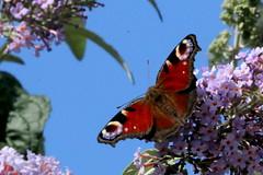 paon de jour ( Inachis io ) Cordemais 160909a2 (papé alain) Tags: insectes papillons lépidoptères nymphalidés vanesses cordemais loireatlantique paysdelaloire france paondejour inachis io