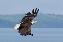 Bald Eagle (Blingsister) Tags: americanbaldeagle baldeagle eagle eagleinflight raptor raptorinflight wildraptor wildeagles blingsister melanieleesonwildlifephotography canon7dmarkii canonef100400mmf4556lisiiusm14xiii northernvancouverisland