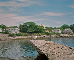 Seagull on Peaks Island (Nick Spadaro) Tags: film medium format ektar fuji kodak seagull landscape nature rock portland maine travel sea ocean coast bird animal 75mm 67 pentax water