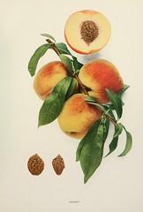 n280_w1150 (BioDivLibrary) Tags: andrewjackson 18151852 downingaj fruitculture newyorkstate portraits prunuspersica rosaceae newyorkbotanicalgardenluesthertmertzlibrary bhl:page=6593696 dc:identifier=httpbiodiversitylibraryorgpage6593696 crosby peach crosbypeach