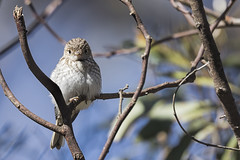 Red-capped Robin 2016-09-24 (60D_3639) (ajhaysom) Tags: petroicagoodenovii redcappedrobin woodlandshistoricpark greenvale melbourne australia australianbirds canoneos60d sigma150600