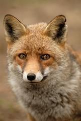 volpe (via francigena sud) Tags: volpe vulpesvulpes mammifero predatore
