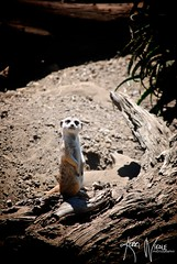 Quick Before the Hyena Come! (KerriNikolePhotography) Tags: california santabarbara meerkat nikon nikkor zoomlens santabarbarazoo nikond3000 kerrinikolephotography
