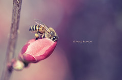 Pumping (- Matalobos -) Tags: flower macro sharp bee 60mm pumping d80 nikond80 fbdg mygearandme pablobaracat highqualityanimals
