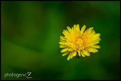 Lensbaby_Test-12-Edit (photogenicZ) Tags: flower macro yellow lensbaby nikon shift tilt 2012 d800