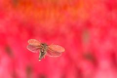 Hopper (linden.g) Tags: macro speed insect diy high cross flight beam shutter laser external sensor stopshot cognisys