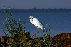 Sta reggel - Walk in the morning (veitJ) Tags: bird heron animal llat madr kcsag