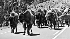 Warning: bison crossing (Anna Gorin) Tags: blackandwhite animals canon buffalo wildlife 7d yellowstonenationalpark wyoming bison herd bisonherd usnationalparks 55250mm