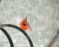 Male Cardinal in the snow (Chickens in the Trees (vns2009)) Tags: winter red snow male bird cardinal northern cardinaliscardinalis