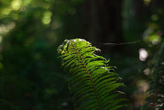 constantly stuggling against the darkness, reaching with all I have to the light (lydiafairy) Tags: light fern green nature forest pull woods darkness bright hike frond depression spidersweb struggle wlak