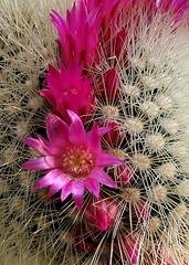 szemölcskaktusz / Mammillaria backebergiana (debreczeniemoke) Tags: cactus plant flower garden succulent cactaceae virág kert növény kaktusz pozsgás mammillariabackebergiana canonpowershotsx20is szemölcskaktusz kaktuszfélék