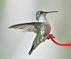 bird birds hummingbird michigan hummingbirds thegalaxy