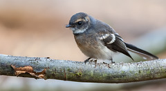 Grey Fantail (Andy Smylie) Tags: birds mountbarker laratinga laratingawetlands andysmylie andysmyliegreyfantail