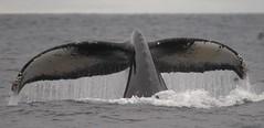 Humpback Whale EXPLORED (Nikki the birdwatcher) Tags: ocean california nikon flickr dive explore whale 480 452 450 449 414 478 humpbackwhale marinemammal fluke 456 457 nicoleperkins 463 455 429 482 461 459 460 476 444 481 467 410 466 454 468 446 436 458 465 445 monteraybay 474 462 475 464 477 479 explored cetcean nikond300 842012 monteraybaywhalewatch