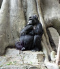 Eastern Lowland Gorilla (Victoria) (scara1984) Tags: zoo antwerp 10102010 scara1984