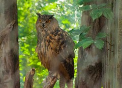 eurasian Eagle Owl - Bubo bubo (Ricks Picks) Tags: portrait brown mountain bird nature forest asia europe european nocturnal eagle wildlife feathers large talon raptor owl perched tufts predator birdofprey barred tawny hornedowl mottled horned bubobubo eagleowl