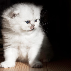 Hermione (Lucien Vatynan) Tags: pet animal animals cat canon eos persian chat kitty animaux chaton persan 60d unamourdechat