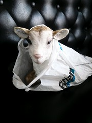 L'agneau du 15 août (CroytaqueCie) Tags: flickrandroidapp:filter=none agneau lamb lam bárány ラム баранина jehněčí agnello croytaque croytaquecie пасхальныйагнец agneaupascal paschallamb easterlamb passoverlamb