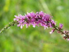 Lythrum salicaria ~#428 Explored 17 Aug 2012 (abrideu away on Holiday) Tags: canon ngc npc wildflower lythrumsalicaria purpleloosestrife explored abrideu blutweigerich
