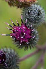 Thistel (Erlend Myhren) Tags: wild flower norway norge nikon blomster grimstad thistel tistel d300s hesnesgartneri