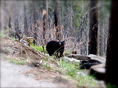 Sequoia Park - May 2012 (Vancayzeele Olivier - Go Brazil !!!) Tags: bear wild tree nature animal forest photography cub sequoia bearcub usnationalpark sequoiapark vancayzeele rememberthatmomentlevel1