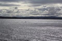 Dolphins. (Seckington Images) Tags: scotland flickr dolphin scottishlight scotishlight
