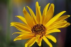 Helianthus annuus -   (Ivo Angelov) Tags: sun pentax sigma sunflower  helianthus kavarna annuus    pentaxk7