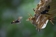 The Flight (Sandeep Santra) Tags: india plant motion flower detail macro nature closeup canon insect eos flying movement dof bokeh details bee freeze micro westbengal 500d incredibleindia chandannagar efs55250mmf456is me2youphotographylevel2 me2youphotographylevel1 unlimitedinsectslevel1
