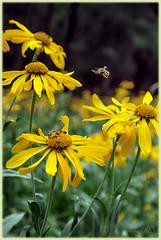 Lemmon Bahia (Mary Adrenaline) Tags: flowers summer arizona macro nature yellow outdoors pentax tucson wildlife insects august bee 2012 mountlemmon k10d lemmontrail maryadart