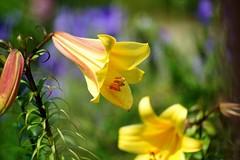 /Uvularia grandiflora (nobuflickr) Tags: 20160627dsc03701  uvulariagrandiflora  japan flower kyoto thekyotobotanicalgarden nature    awesomeblossoms