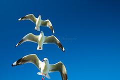IMG_6329-2 (gsreejith) Tags: silvergull inflight birds birdinflight blue sky