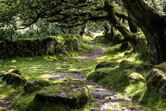 Track to Joey's Lane_NK2_2178 (Jean Fry) Tags: uk trees moss rocks tracks devon paths nationalparks dartmoor moorland westcountry englanduk dartmoornationalpark mossyrocks countrytracks joeyslane