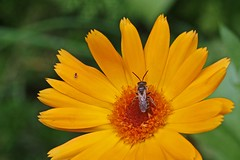 Honey Bee Calendula _0096 (Barrie Wedel) Tags: honeybee bee arthropod bug diptera fly insect invertebrate closeencounter closeup colourful depthoffield gardensafari macro nature naturephoto naturethroughthelens wildlife beecollectingpollen flower calendula