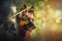 Gal (DigitalBite) Tags: dog dogphotography gsd germanshepherddog blackandtanlonghairedgsd portrait wow