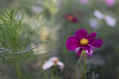 DSC02126 (Zengame) Tags: hamarikyu hamarikyugardens rx rx1 rx1r rx1rm2 rx1rmark2 sony zeiss cc cosmos creativecommons flower japan tokyo           jp