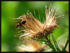 IMG_0200 Needs a New Broom 8-22-16 (arkansas traveler) Tags: largemilkweedbug bichos bugs insects flowers thistle zoom telephoto nature naturewatcher natureartphotography bokeh bokehlicious