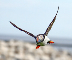 Fishing (vic_206) Tags: uk flight volando envuelo puffin canoneos7d tamron70300 bird pajaro atlanticpuffin fraterculaarctica