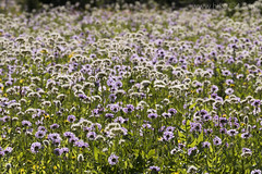 "Flower meadows near Preston Park • <a style=""font-size:0.8em;"" href=""http://www.flickr.com/photos/63501323@N07/28742853245/"" target=""_blank"">View on Flickr</a>"