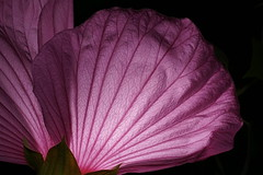 _DSC0196w9u (wdeck) Tags: meingarten flowers sonya700 blossoms blte malve hibiskus