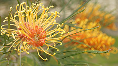 Golden Grevillea (judith511) Tags: grevilea gold orange australiannativeplant flower plant naturethroughthelens