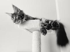 Baloo my Kitten Maine coon (romeosilverpersian) Tags: scratchingpost mainecooncat mainecoonkitten mainecoon cats gatti gattini kittens tiragraffi