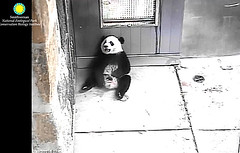 Hehe. I'm a big bear now.  .../as147.png (heights.18145) Tags: smithsoniansnationalzoo ccncby cuteanimals pandas bears beibei meixiang pandabears bigbear