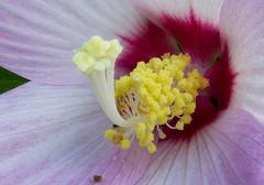 swamp mallow #4 (billd_48) Tags: ohio summer cmp cvnp cuyahogavalleynationalpark nature flowers macro mallow swampmallow focusstack